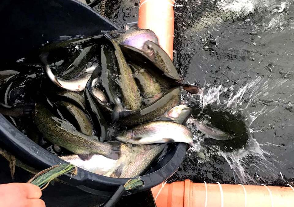 Fish stocking with trout 10.01.